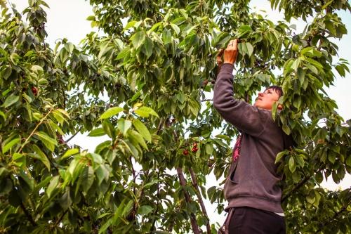 Cseresznyeszüret Érden