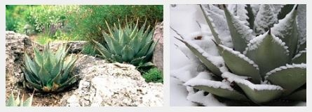agave_kertben