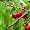 Cseresznye, a roppanós egészség!