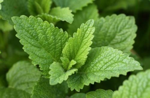 citromfű a hűsítő gyógy- és fűszernövény