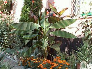 Télálló pálmákat és banánt is ültethetünk kertünkbe