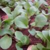 Zöldségek tavaszi palántanevelése