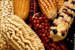 A genetikailag módosított növények vetésterülete