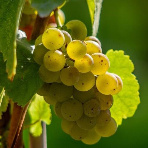 chasselas (saszla) szőlő