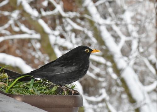 blackbird-1144966_1280