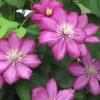 Pergolára, virágrácsra vagy kerítésre futtatható növények