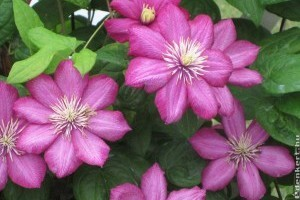 Pompás virágrácsra, kerítésre futtatható növények
