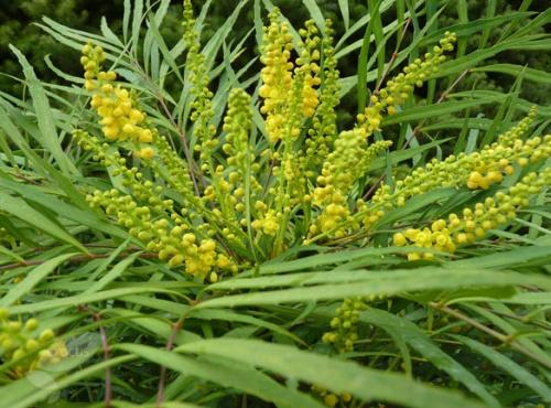 Mahonia eurybracteata subsp.ganpinensis 'Soft Caress'