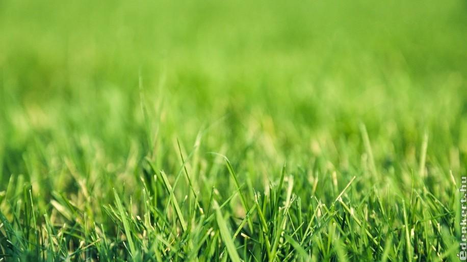 fű parazita sárga, ahogy nevezik