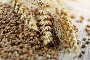 Tritikálé az egészséges és ellenálló gabona