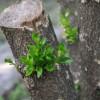 Buxus-átok: tartol a selyemfényű puszpángmoly