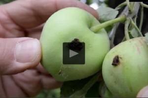 Gyümölcsfák júliusi növényvédelme - állítsuk meg a fertőzést!