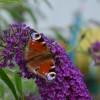 Pillangócsalogató díszcserje a nyári orgona