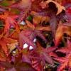 Őszi lombszínével kápráztat el az amerikai ámbrafa