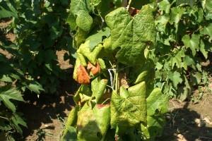 Időben kell védekezni az amerikai szőlőkabóca ellen
