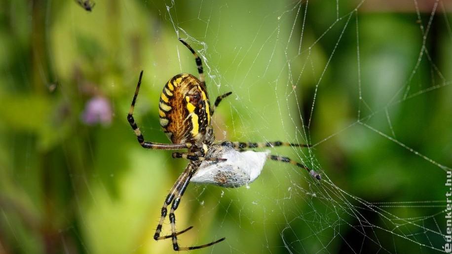10 érdekesség a darázspókról