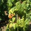 Két újabb borvidéket veszélyeztet a szőlő aranyszínű sárgaság betegséget okozó fitoplazma