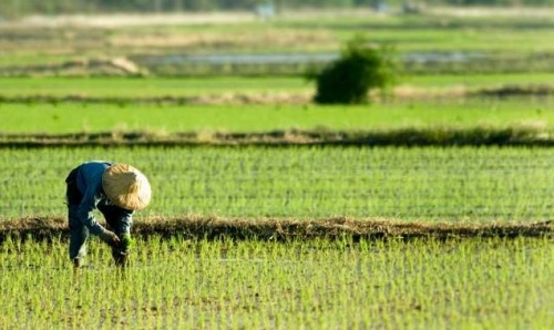 rizsfold