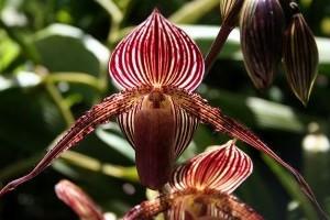Különleges orchideával vár minket a jubileumi orchideakiállítás