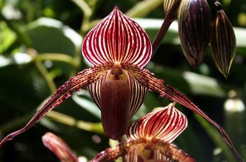 orchideakiall