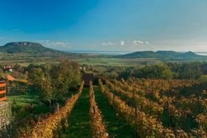A teljes Badacsony-hegy zárlat alá kerül a szőlő aranyszínű sárgaság betegség miatt