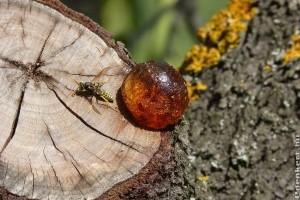 Mézgás fák kezelése: mi velük a teendő?