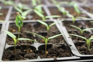 Magvetés, hajtatás – 101 praktika zöldségtermesztéshez
