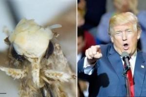 Donald Trumpról neveztek el egy apró molylepkét