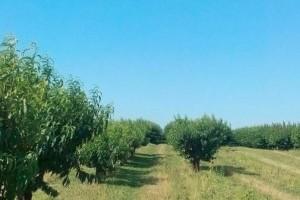 Azerbajdzsánba is tőlünk viszik a gyümölcsfa-csemetéket