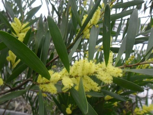 acacia_longifolia2