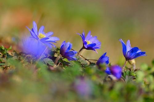 anemone_blanda_pecs