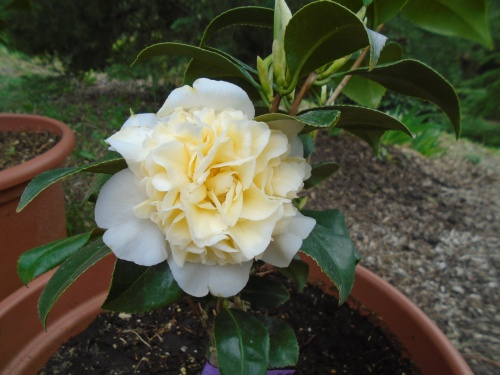 camellia_japonica_jurys_yellow