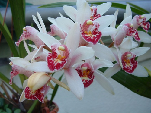 cymbidium_mini