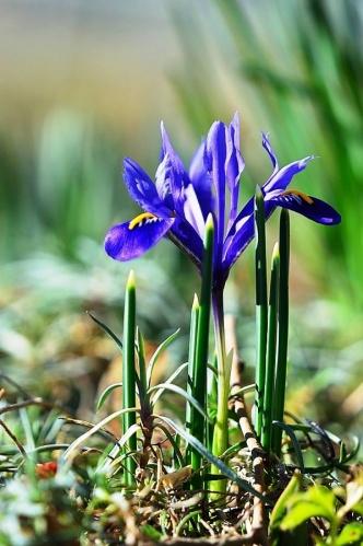 iris_reticulata_pecs