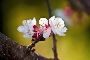 Támad a virágfertőző monília
