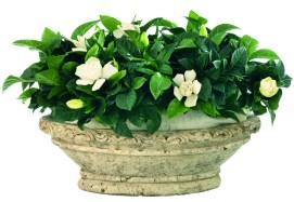 Nagyvirágú Gardenia (Gardenia jasminoides)