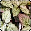 Színes félbibe (Hemigraphis colorata)