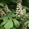Egyik legnehezebb növényvédelmi feladat közterületen a vadgesztenyék védelme