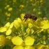 Nagy veszteséget szenvedtek a méhek, kevés mézre lehet számítani