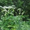 Újabb növényellenség? Országszerte gondot okozhat a medvetalp