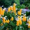 Sárga nyalókavirág (Pachystachys lutea)