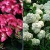 Melyik hortenziát választanád a kertedbe?