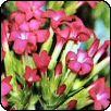 Rohea (Rochea coccinea)