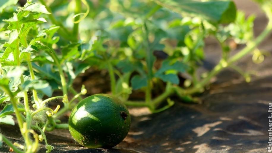 Sárgadinnye palánta ültetése kiskertbe