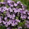Tavasztól-őszig illatozik a vaníliavirág