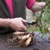 Hogyan tároljuk ősszel a dália gumókat?