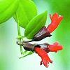 Szégyenlősvirág (Aeschynanthus lobbianus)