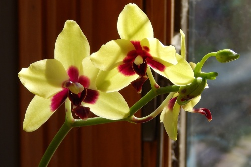 hybrid-phalaenopsis-with-buds-1878441_1280