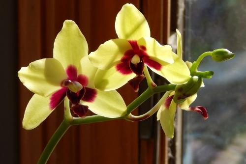 hybrid-phalaenopsis-with-buds-1878441_1280