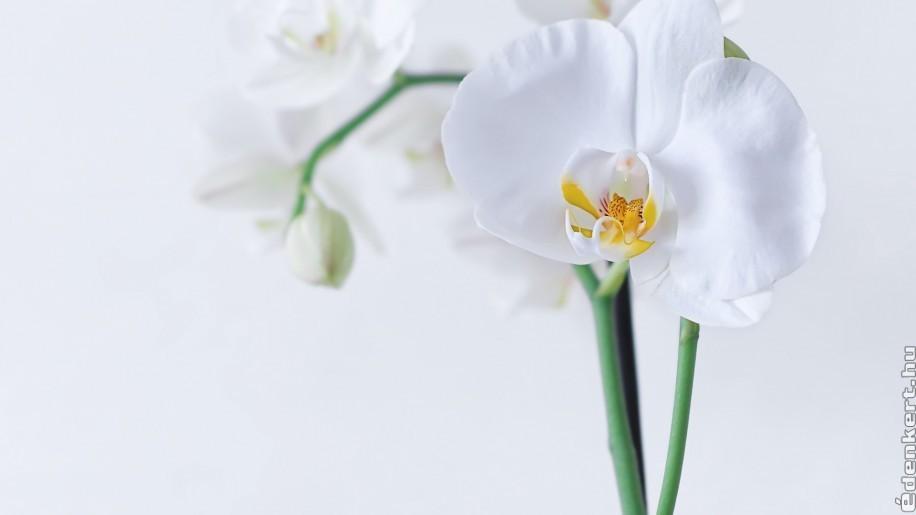 Apró trükkök, hogyan gondozzuk jól az orchideát